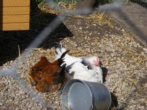 Pruun kana, valge kana