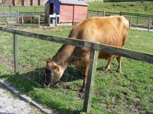Ehtne šoti lehm!